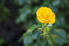Роза желтого цвета в саде Стоковое фото RF