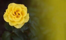 Роза желтого цвета в саде Стоковое Фото