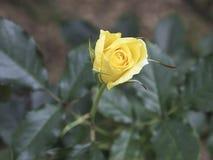 Роза желтого цвета на ветви в саде Стоковое фото RF