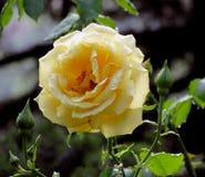 Роза желтого цвета после дождя Стоковое Изображение RF