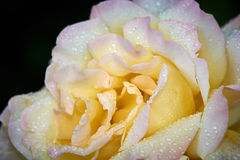 Роза желтого цвета после дождя стоковое фото