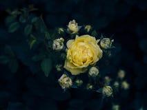 Роза желтого цвета растя в розарии Стоковые Изображения