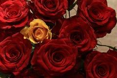 Роза желтого цвета среди красных роз стоковое фото rf
