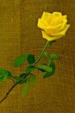 Роза желтого цвета стоковое фото