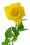 Роза желтого цвета стоковые изображения rf