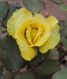 Роза желтого цвета стоковые фото