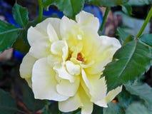 Роза желтого цвета Lite Стоковые Изображения