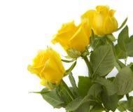 Роза 3 желтых цветов на белизне Стоковые Изображения