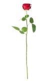 Роза изолированная перед белизной Стоковое Изображение RF