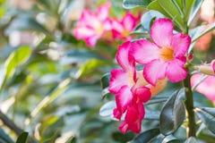 Роза-импала пустыни Стоковые Фотографии RF