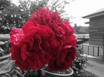 Роза стоковое изображение rf