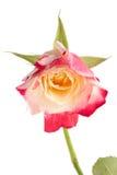 Роза красного цвета & белизны изолированная на белой предпосылке Стоковое фото RF