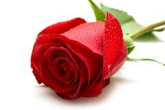 роза красного цвета влажная Стоковые Изображения