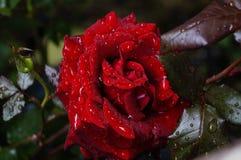 роза красного цвета влажная Стоковые Фото