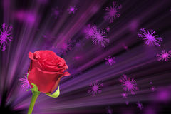 Роза красного цвета в розовой теме Валентайн предпосылки Стоковая Фотография RF
