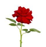 Роза красного цвета изолированная на белой предпосылке Стоковое фото RF