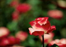 Роза красного цвета и белизны Стоковая Фотография RF