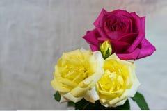 Роза красного цвета и желтого цвета с copyspace - отрицательным космосом Стоковые Изображения