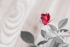роза красного цвета малая Стоковые Фото