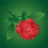 Роза красного цвета Стоковые Фото