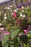 роза красного цвета одиночная Стоковое Изображение RF