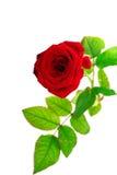 роза красного цвета одиночная Стоковые Изображения