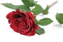 роза красного цвета одиночная стоковое фото