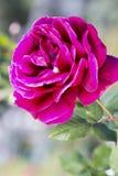 роза красного цвета одиночная Стоковые Фото