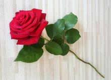 роза красного цвета одиночная Стоковая Фотография RF