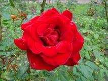 Роза красного цвета после дождя Стоковая Фотография RF
