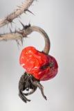 роза красного цвета собаки одичалая стоковые изображения rf