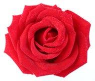 Роза красного цвета с капелькой воды Стоковые Изображения RF
