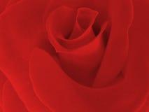 роза красного цвета яркая Стоковое Изображение