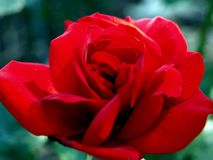 Роза красного цвета стоковая фотография rf