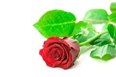 Роза красного цвета стоковое фото