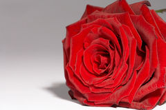 роза красного цвета rote Стоковое Изображение