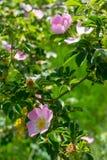 роза крупного плана одичалая Стоковые Изображения