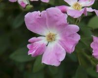 Роза крупного плана почти одичалого розового кустарника Стоковые Фотографии RF