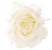 роза макроса влажная Стоковые Фотографии RF
