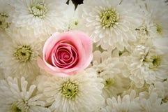 роза маргариток уникально стоковое изображение