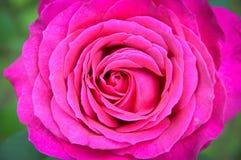 Роза мадженты макроса Стоковое Изображение RF