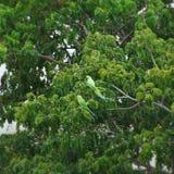 Роза-окружённые длиннохвостые попугаи Стоковая Фотография