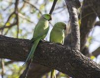 Роза-окружённые пары длиннохвостого попугая Стоковые Фото