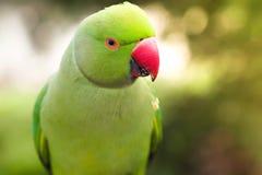 Роза-окружённый длиннохвостый попугай на запачканной предпосылке Стоковая Фотография RF