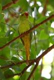 Роза-окружённый длиннохвостый попугай Стоковое Изображение
