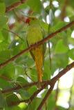 Роза-окружённый длиннохвостый попугай Стоковое Фото