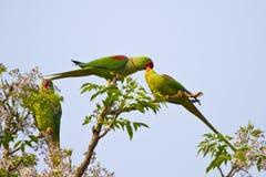 Роза-окружённый длиннохвостый попугай Стоковое фото RF