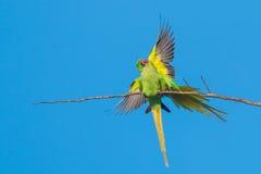 Роза-окружённый сопрягать длиннохвостых попугаев Стоковое Изображение RF