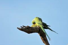 Роза-окружённый сопрягать птиц длиннохвостого попугая (krameri ожерелового попугая), Стоковые Фотографии RF