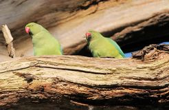 Роза-окружённый сопрягать птиц длиннохвостого попугая (krameri ожерелового попугая), Стоковые Изображения RF